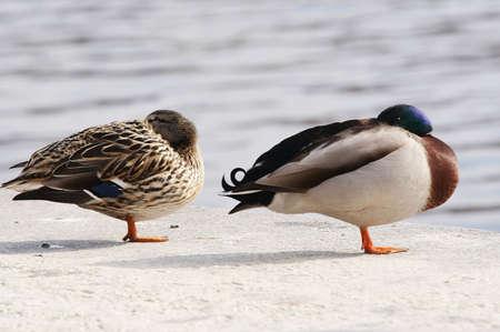 jitter: drowsy wild duck - mallard Stock Photo