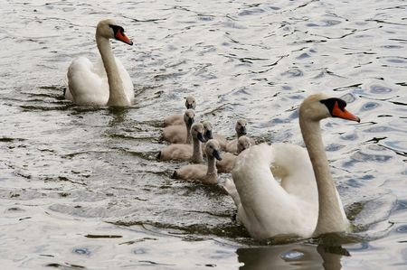 swans with cygnets Stock Photo - 5117684