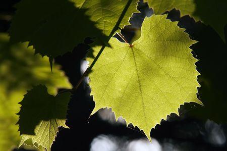 back lighting: grapevine in the back lighting - cultivation of the vine