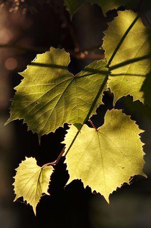 back lighting: leaves of the grapevine in the back lighting Stock Photo