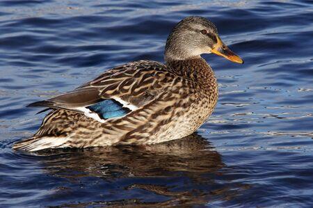 anseriformes: wild duck - mallard