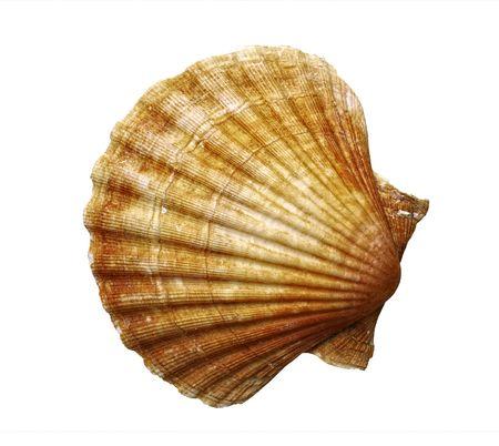 sea fan: sea shell - fan shell