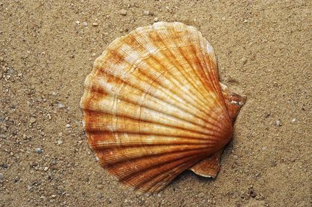 sea shell on the sand photo