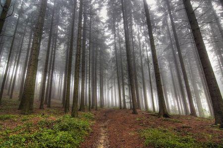 bosque de con�feras - temprano en la ma�ana de niebla