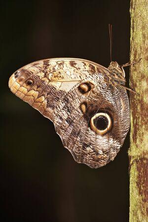 Blue Morpho Butterfly Stock Photo - 6984409
