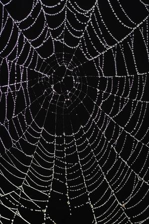 glistening: ara�a con dewdrops relucientes