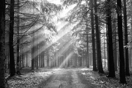 black an white: Vigas de Dios - bosque de con�feras temprano en la ma�ana  Foto de archivo