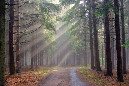 conifer forest in the early morning - a film of mist