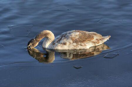 frozen river: swan on the frozen river