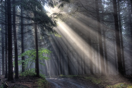 God beams - coniferous forest early in the morning Stock Photo - 9201065