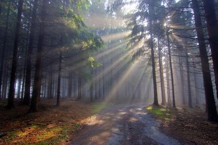早朝から針葉樹林 写真素材