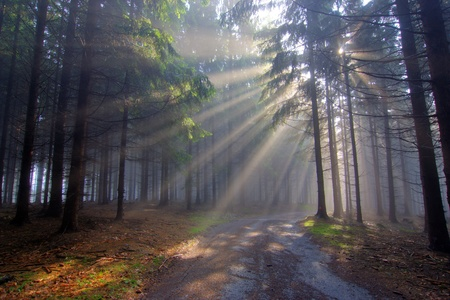 conifers: coniferous forest early in the morning