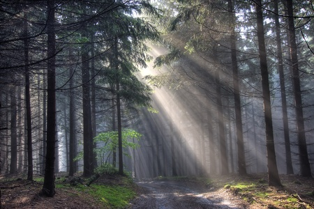 coniferous forest early in the morning