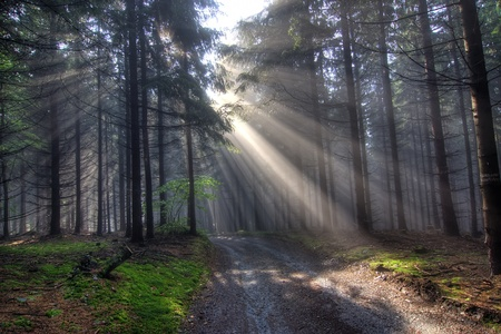 coniferous forest early in the morning Stock Photo - 10642305