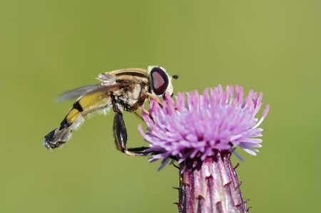syrphid fly: syrphid fly
