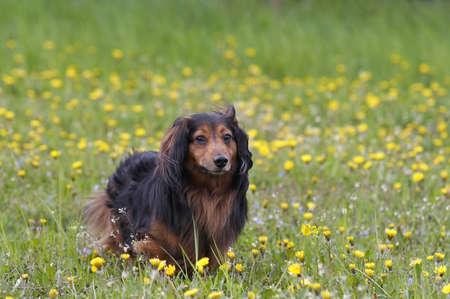 dachshund on the dandelions meadow photo