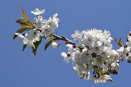 blown: full blown branch of sherry tree