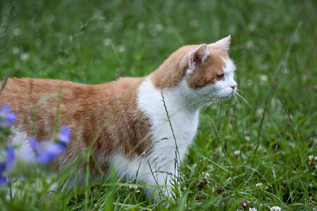 gingery: domestic cat - gingery cat