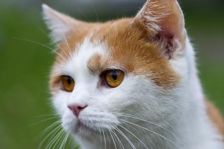 gingery: gingery cat