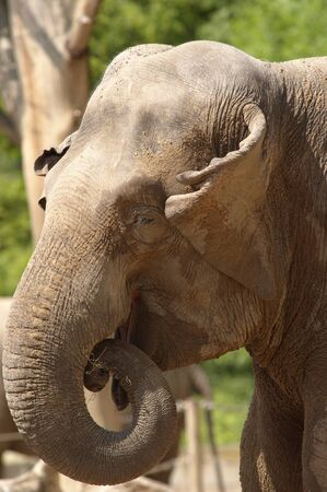 asiatic: Asiatic elephant Stock Photo