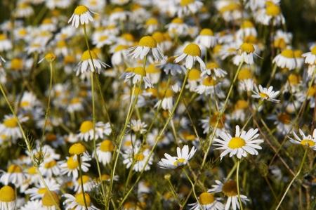 german chamomile: German chamomile Stock Photo