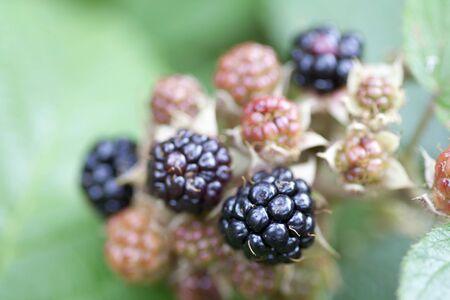 brambleberry: blackberry - productos forestales