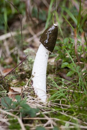 nauseous: common stinkhorn - wood witch