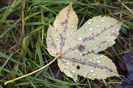 dewdrops: autumn leaf with dewdrops Stock Photo