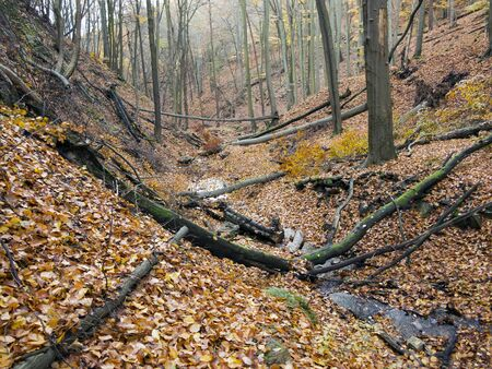 beechwood: deciduous forest with ravines in the autumn