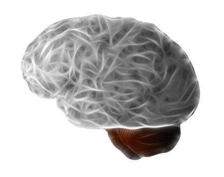 cerebrum: human brain - cerebrum