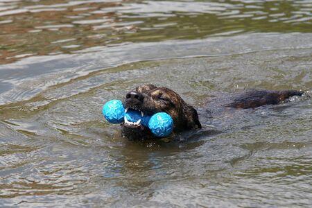 swimming dog in river Stock Photo - 16921554