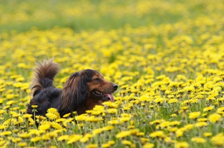dachshund on the dandelions meadow photo