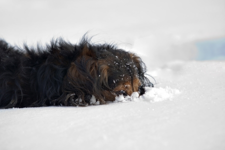snowbank: Dachshund in the winter - in snowbank
