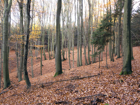 hardwoods: Forest - beech wood in the autumn