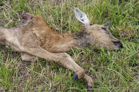 poaching: Shot of the dead young doe - poaching Stock Photo