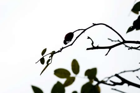 branch of wild brier with rose hips photo