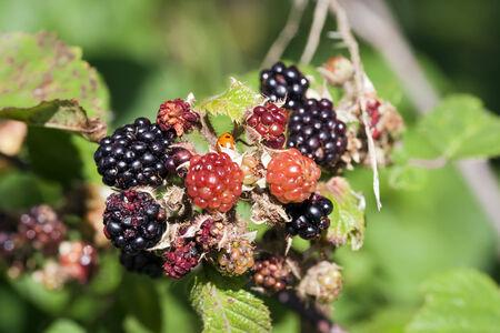 brambleberry: Detalle de la mora - producto forestal