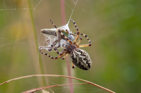 hunting spider - cross spider Stock Photo