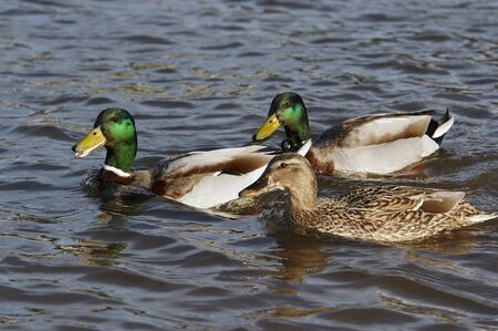courtship: ducks floating on the water  courtship