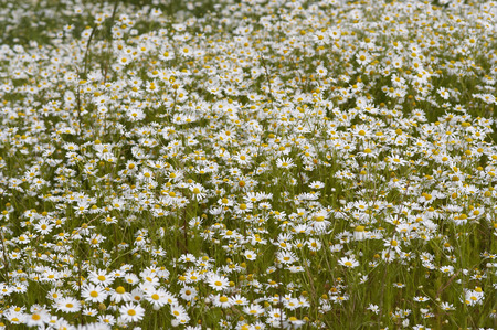 german chamomile: meadow of German chamomile  medicinal herb