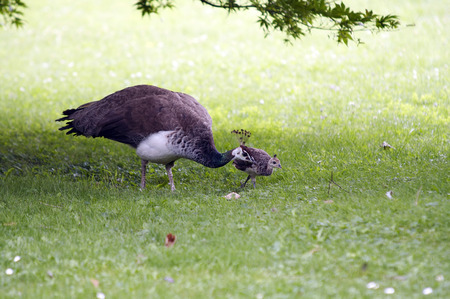 peahen: peahen with chicken on the meadow