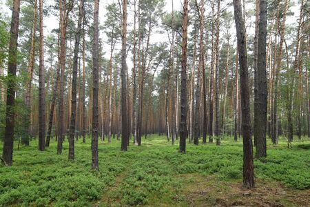 soothing: quiet and soothing pine forest