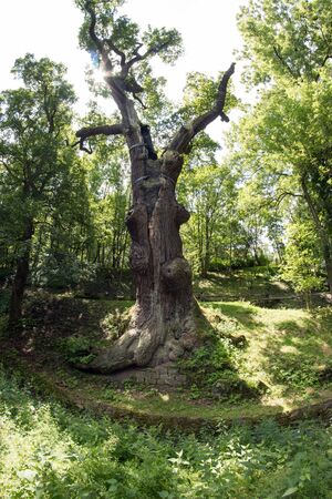 memorable: memorable oak tree - 800 year old oak