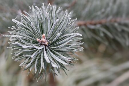 흰 서리: Hoarfrost on the coniferous twig