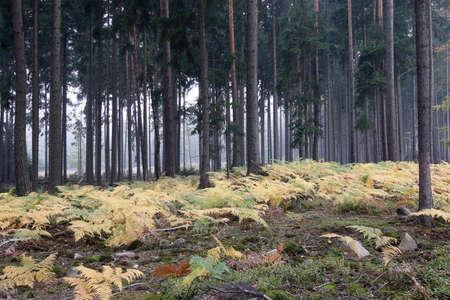 helechos: Niebla en el bosque de helechos