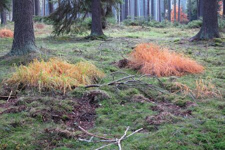 tranquil atmosphere: Colored grass in the autumn coniferous forest Stock Photo