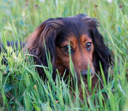 blinkers: Dog Eyes -  Sausage Dog