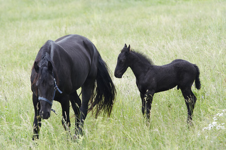 brood: Black mare with colt on horse lot Stock Photo