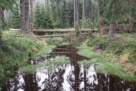 turba: Los bosques en turberas Kladsk� Foto de archivo