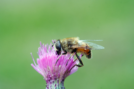 pollination: Pollination - Syrphyd fly on the bloom